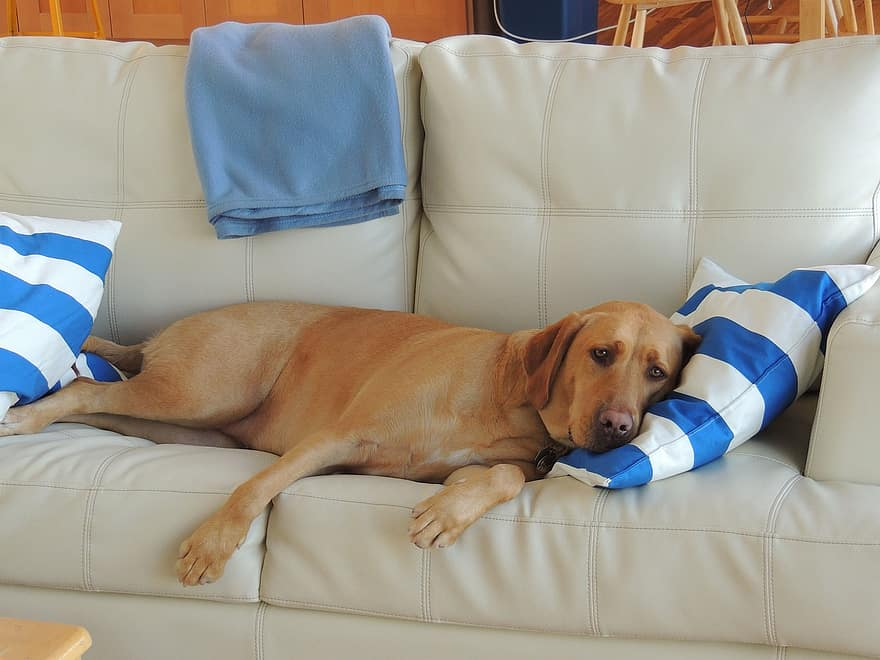 Dog laying on the couch.