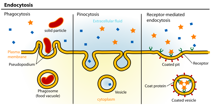 Endocytosis Types