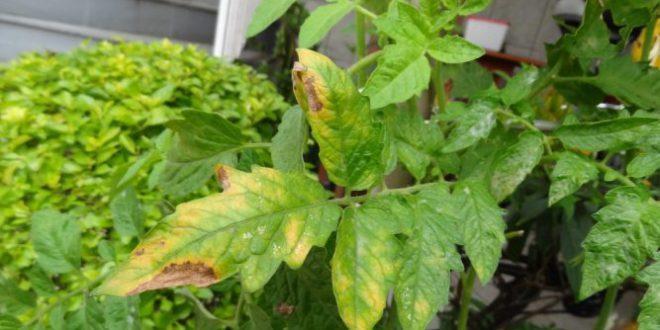 Resultado de imagem para deficiencia de cloro nas plantas