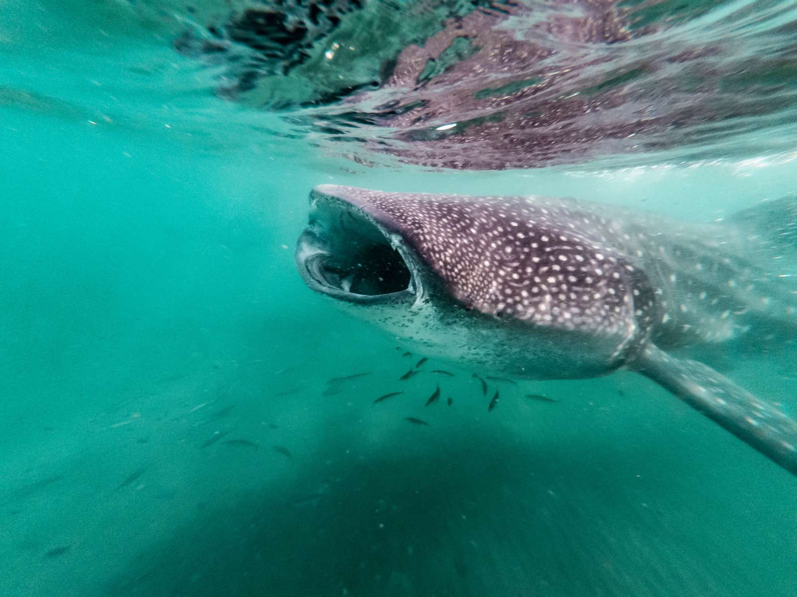 Diving with Whale Sharks:tours around the globe