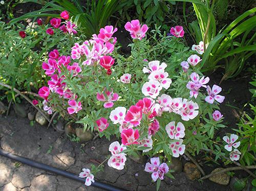 Mẹo chăm sóc hoa hồng xuân phát triển tốt