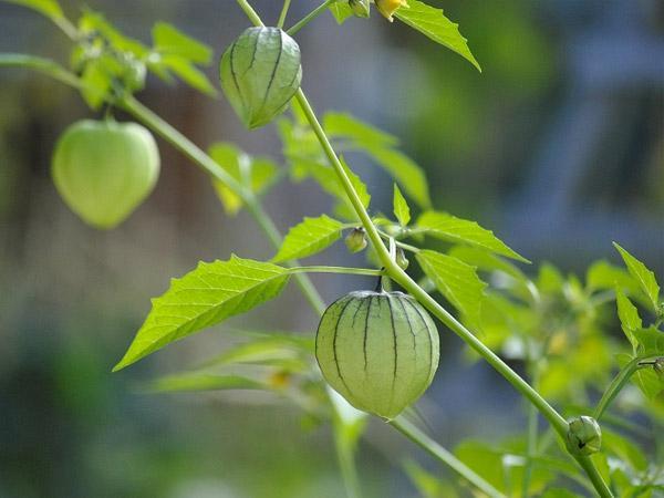 Tin đồn về cây thù lù chữa bệnh tiểu đường  - Ảnh 1