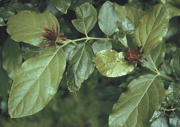 Sweet shrub