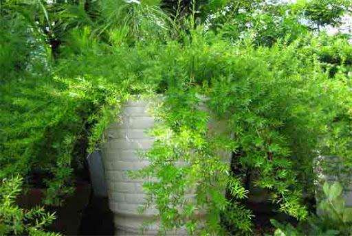 Cây Thiên Môn Đông tạo cảm giác thân thiện với môi trường