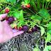 Giống dâu tây Mỹ tím đỏ