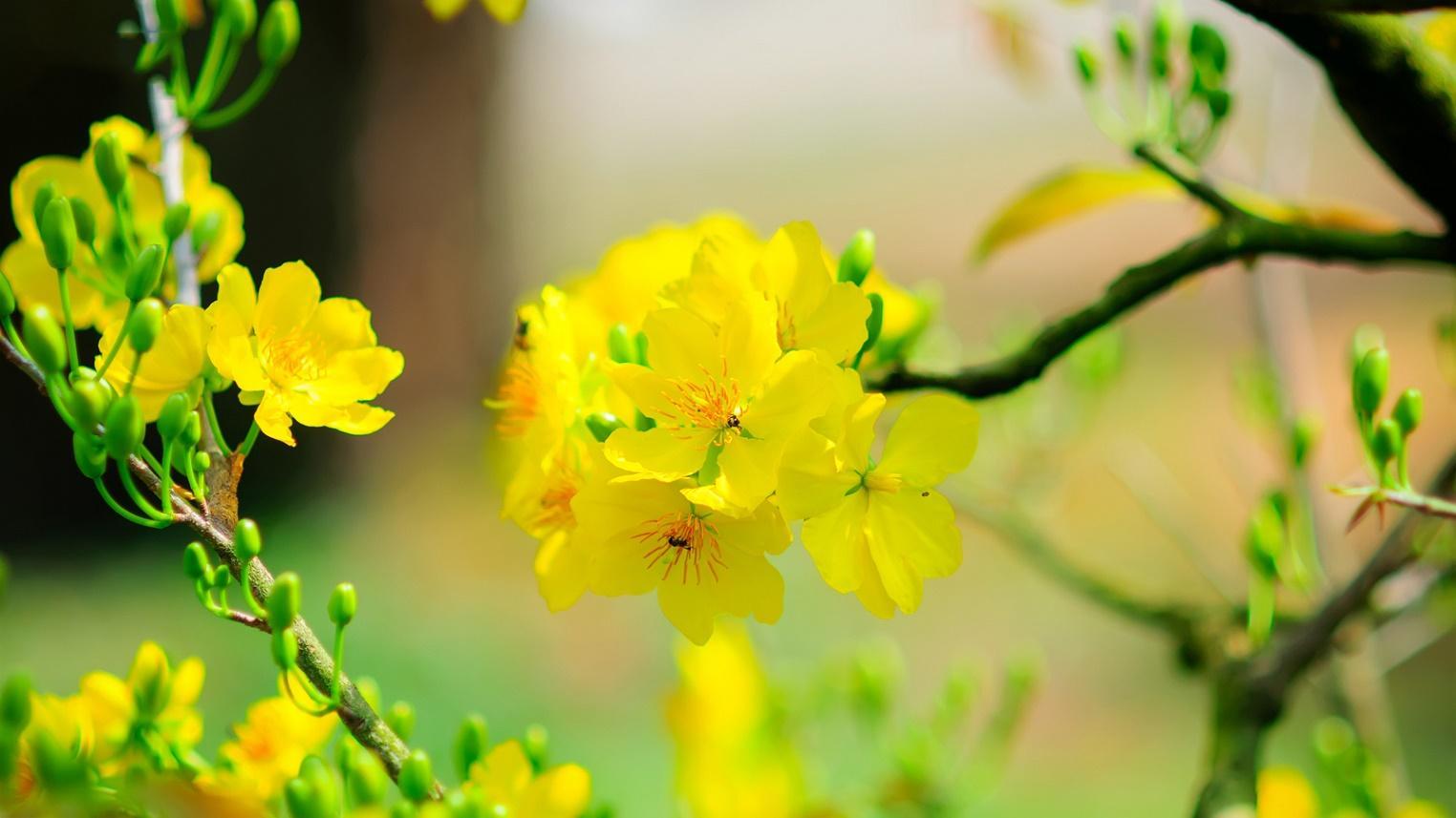 Kết quả hình ảnh cho hình ảnh hoa mai ngày tết