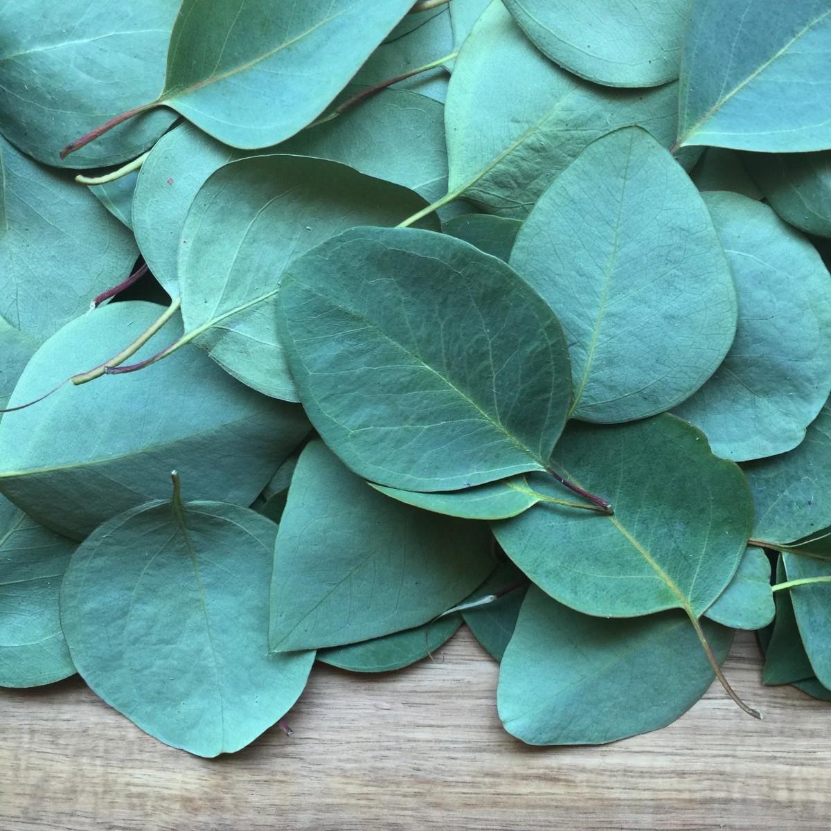 Lemon Eucalyptus Essential Oil: eucalyptus leaves