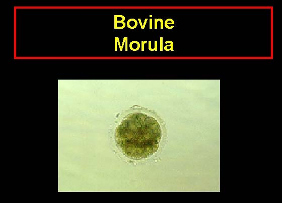 A bovine morula with a mass of at least 32 cells. Individual blastomeres are difficult to discern from one another. The cellular mass of the embryo occupies most of the perivitelline space.