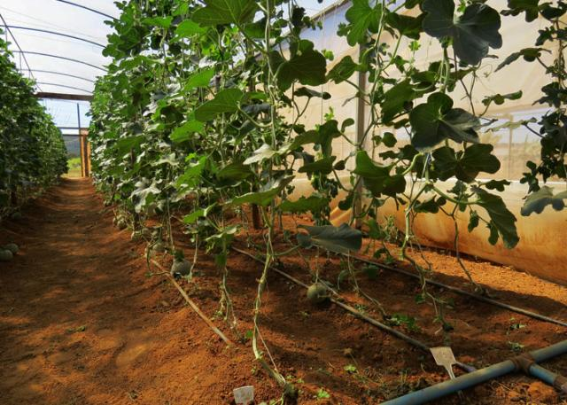 É possível cultivar melões em estufas (Fonte: Embrapa/Reprodução)