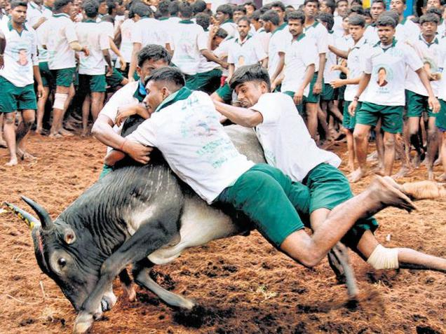 The Centre argues that jallikattu could not be compared to the bull-fights of Spain where the bulls or the humans die.