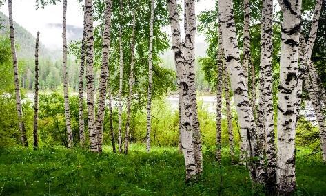 Brzoza – gatunki brzozy, uprawa, cięcie, zastosowanie, właściwości ...