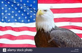 aguila calva americana.jpg