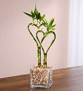 Heart-Shaped Bamboo Plant in Glass Planter
