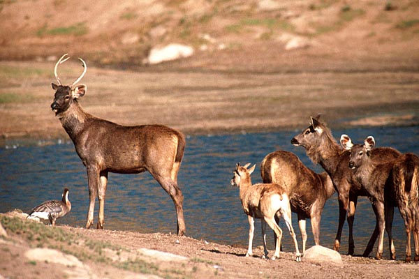 Indian sambar deer group