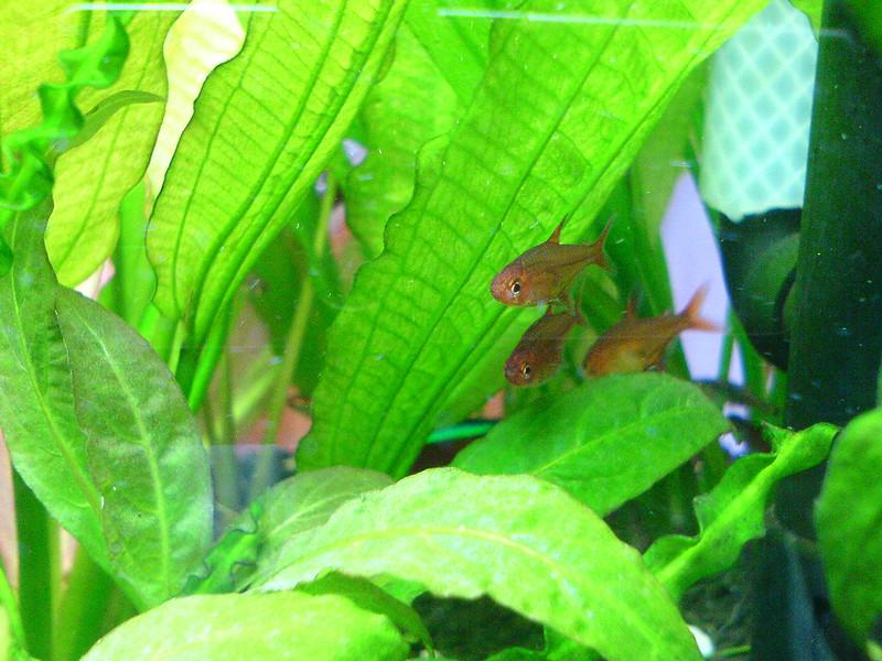 Ember tetras under plant leaves in aquarium