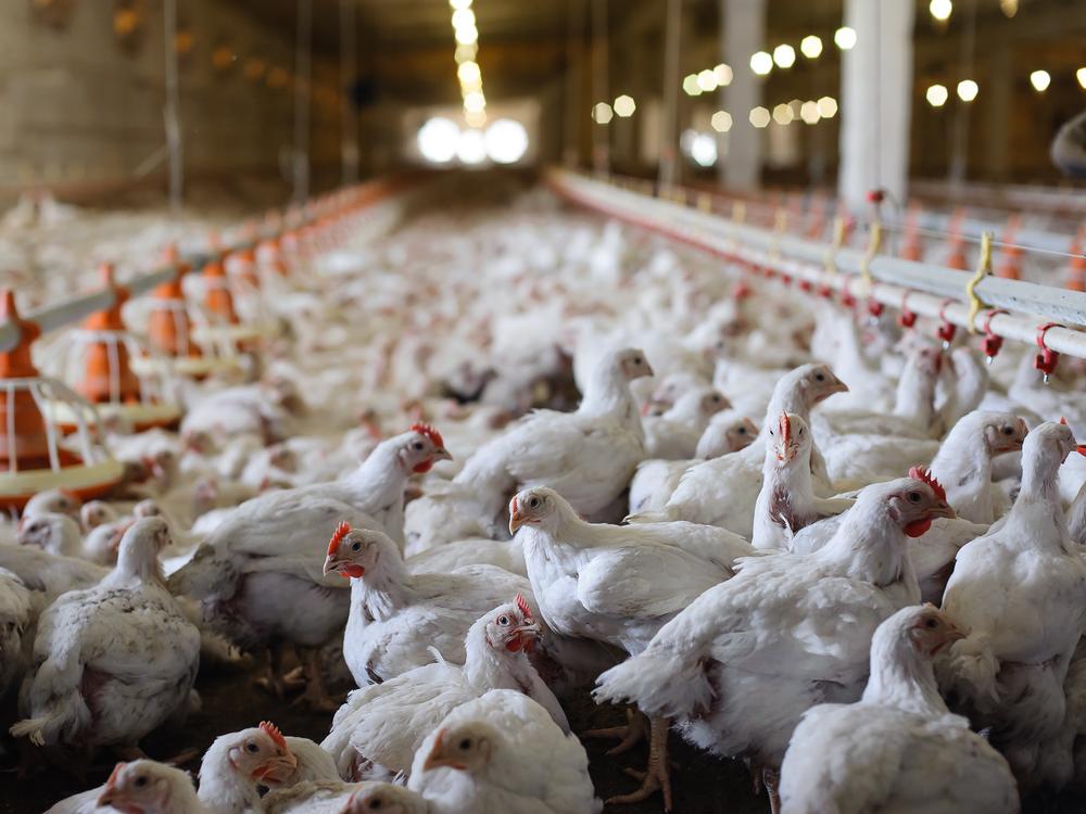 Pela superlotação e baixa higienização, as granjas são um ambiente de fácil propagação do vírus. (Fonte: Shutterstock/Sergey Bogdanov/Reprodução)