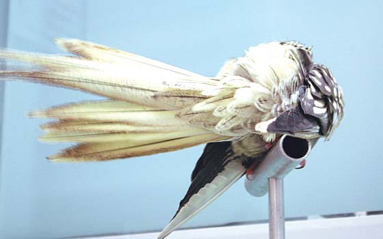 The same bird as in Fig 6.42b is shown preening. Physical exam demonstrated an egg in the reproductive tract