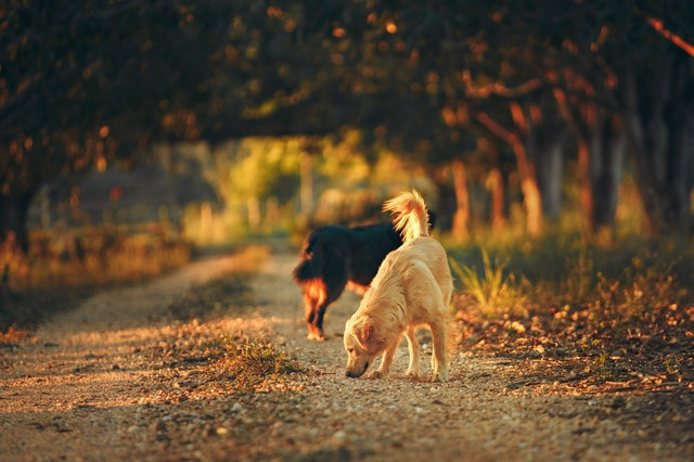 dogs and cats get worms through scavenging or eating infected meat
