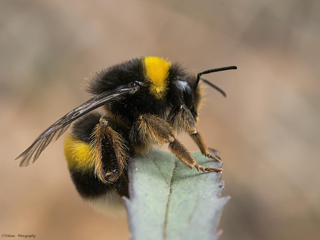 Resultado de imagen de abejorro