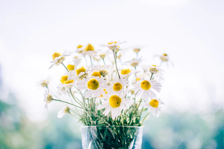Chamomile flowers (white flowers with large yellow centers) in a clear vase by a window.