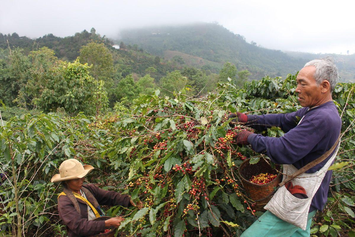 Терруар произрастания кофе
