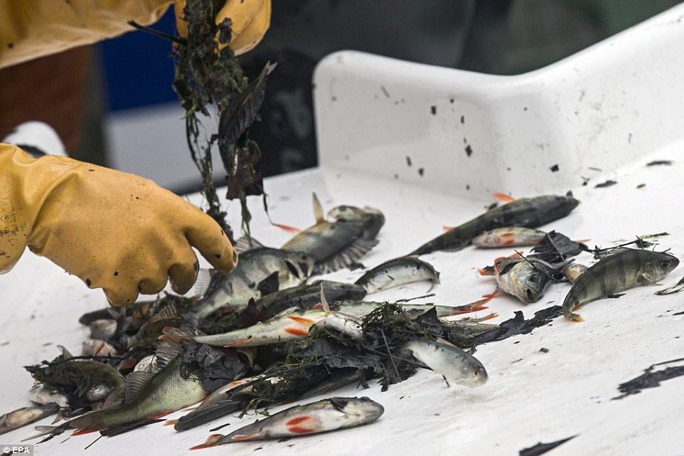 網狀的:一名工人在魚被清理之前,在不被排幹的運河的另一段