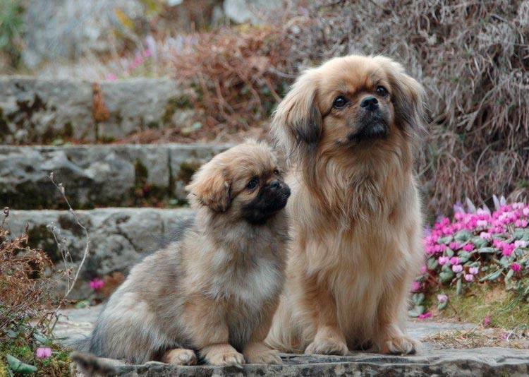 Тибетский спаниель (Тибби): описание породы собак с фото и видео