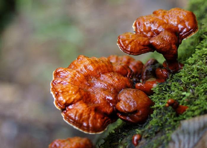 Nấm linh chi rừng có tác dụng gì