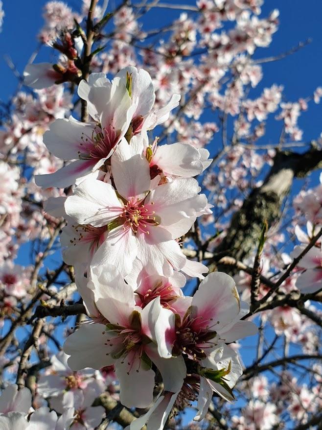 manteli kukkii, almond blossom, Tammikuinen mantelipuu, Algarve Appelsiininkukka, UNKNOWN PORTUGAL
