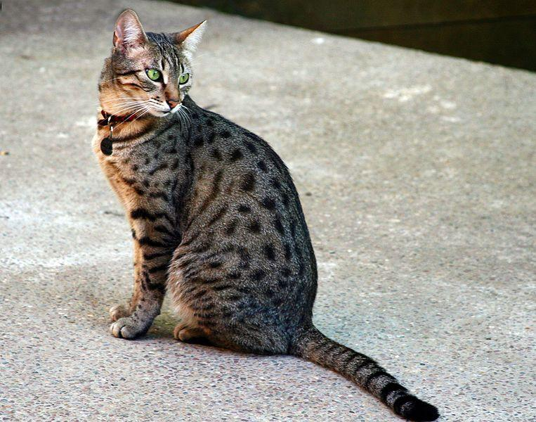 File:Egyptian Mau Bronze.jpg