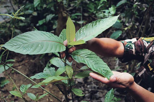 Kratom-leaf.jpg