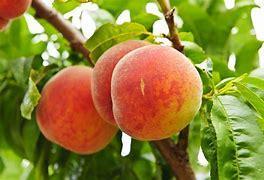 Obraz znaleziony dla: brzoskjwinia w ogrodzie