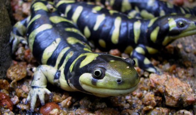 Resulta ng larawan para sa tiger salamanders