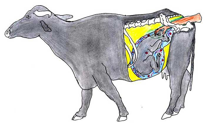 Transrectal examination of pregnant buffalo from 8 to 10 months of pregnancy. The fetal parts can be palpated and fetal movement can be stimulated by pinching the eyeball or grasping the nose of the fetus through the rectal wall.