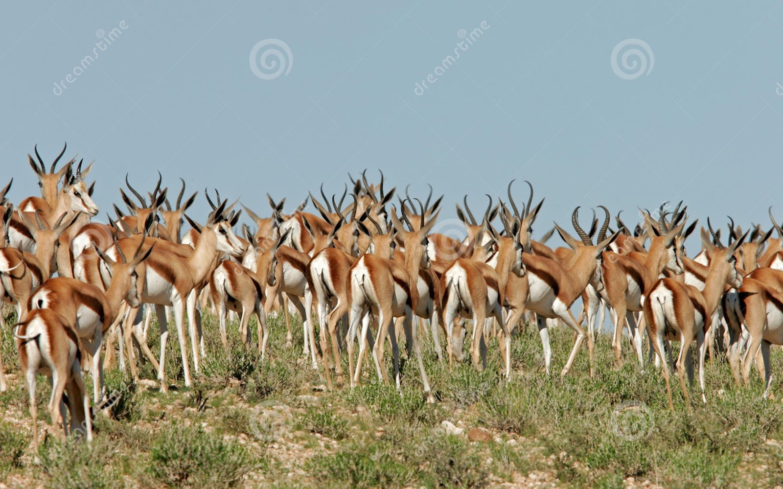 ../../Desktop/troupeau-d-antilopes-de-springbok-1308715.jpg