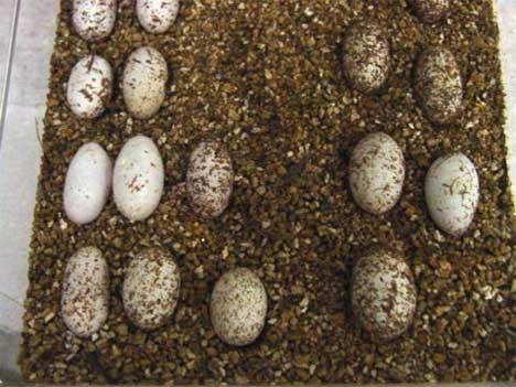 Image result for leopard gecko eggs