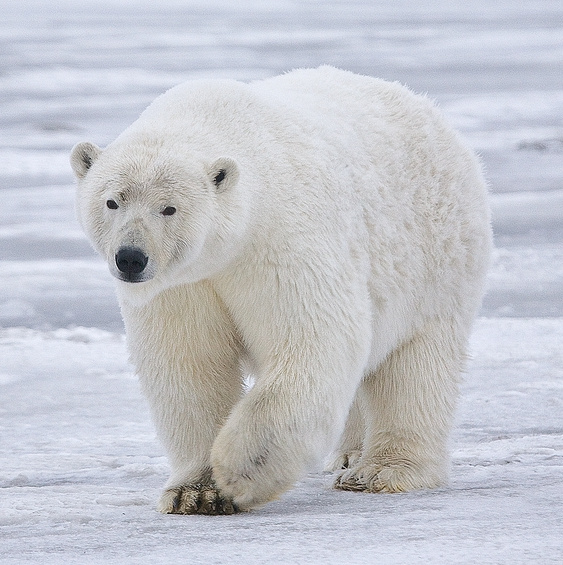 Polar bear - Wikipedia