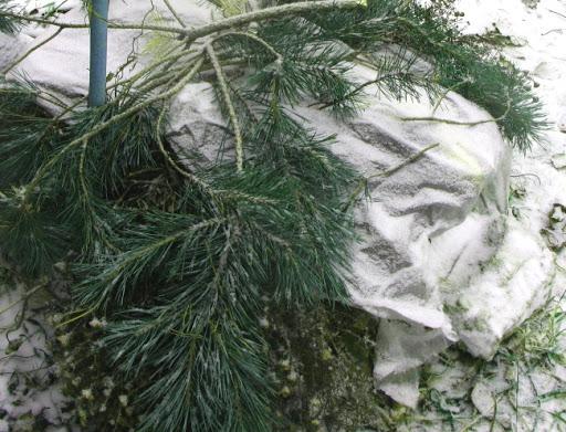 Укрытие клематиса «Кардинал Вышинский» на зиму
