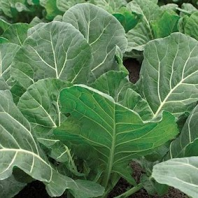 Big, vigorous plants produce  sweet, tender mild, blue green leaves all summer and then over winter well to provide greens through the fall, winter and early spring.