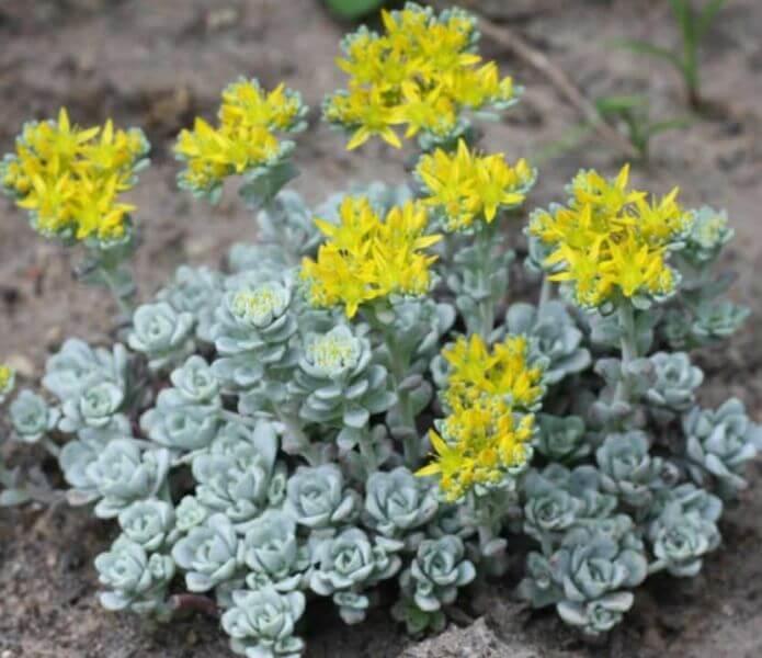 Sedum spathulifolium 'Cape Blanco' - Succulent plants