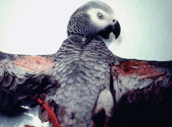 Patagial dermatitis is not uncommon in birds