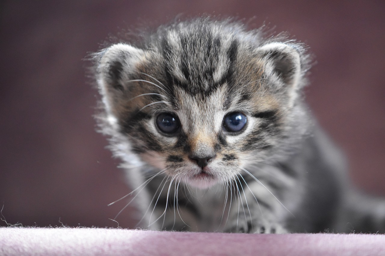 Blue eyed kitten looking directly at camera