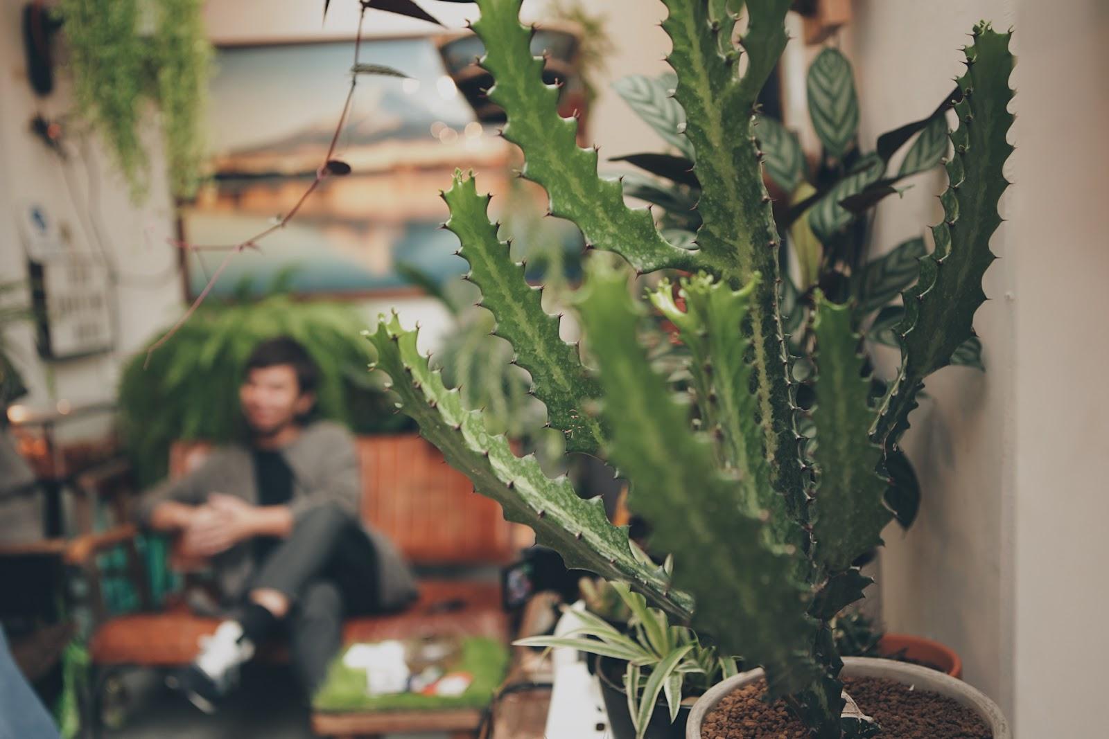 龍骨木棉介紹 植株常呈三角狀,呈現直立堅挺的外貌