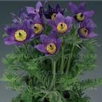 Pinwheel Blue Violet Shades
