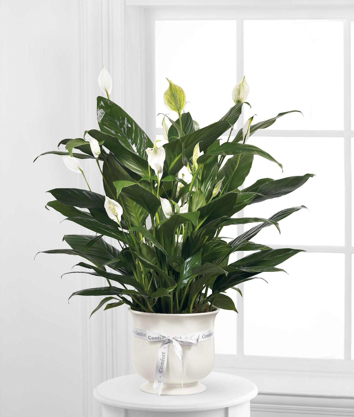 Tanaman hias Peace Lily yang beracun - source: fareastflora.com