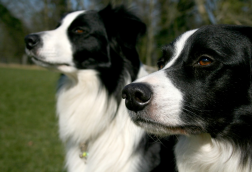 Adaptogens for dogs
