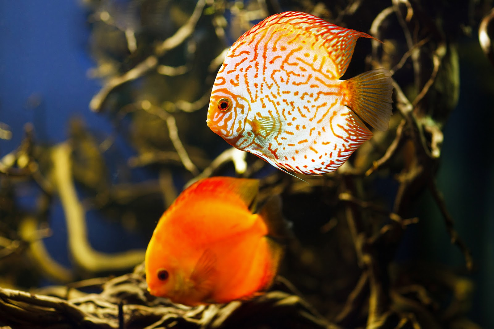 An orange fish swimming in an aquarium