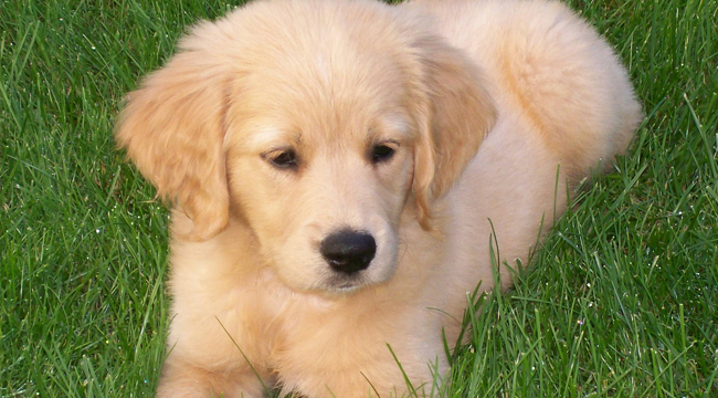 Things to Know Before Getting an English Golden Retriever Home