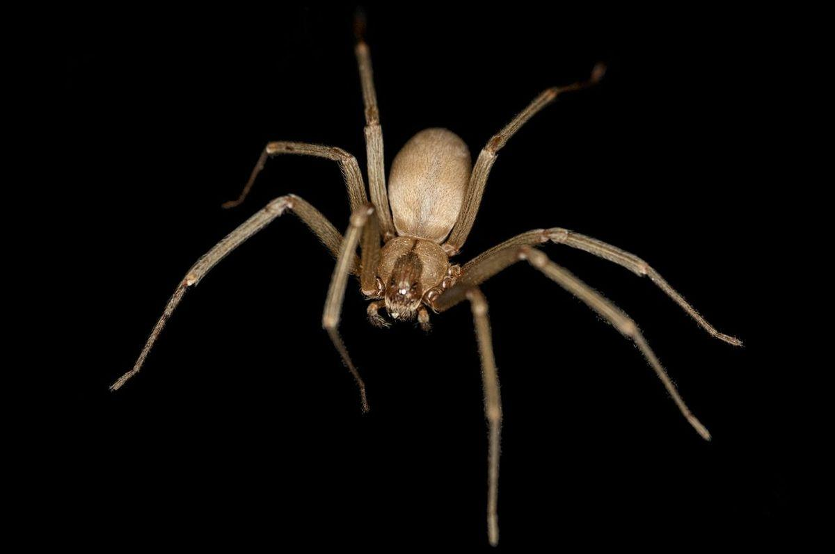 Image result for brown recluse systemic effects cdc