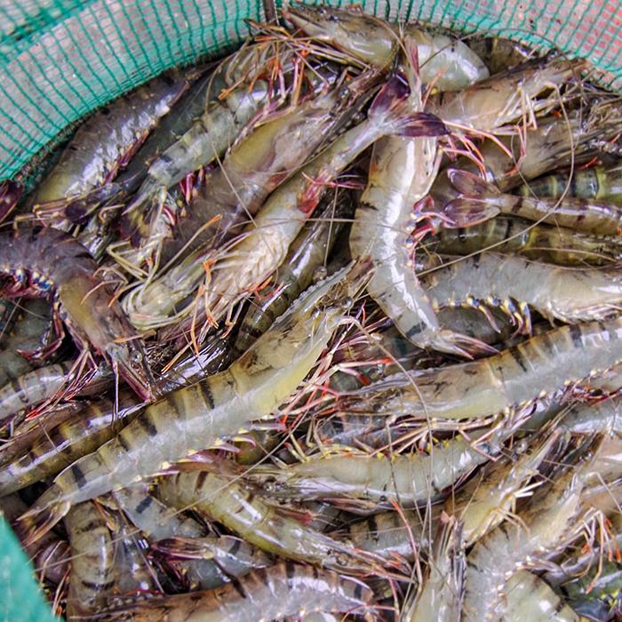 鮮活捕撈起後便立即篩選分規格、送入超低溫急速冷凍。